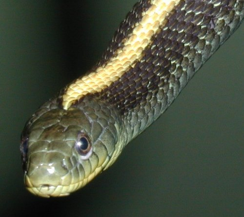 Thamnophis atratus - one-striped morph
